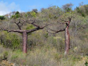 Baobab, Diego