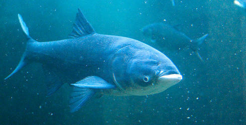 Asian carp in water