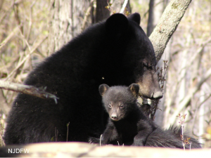 Dozing mother black bear and cub in the woods
