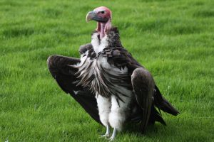 Lappet-faced_vulture_1