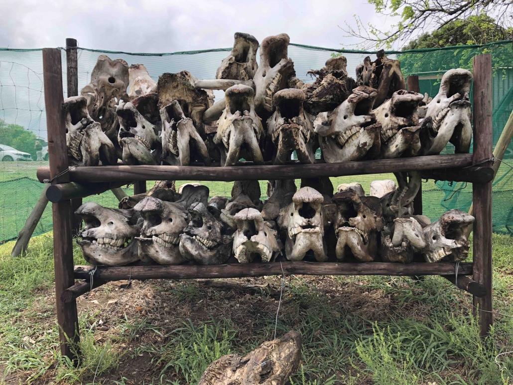 Rhino skulls